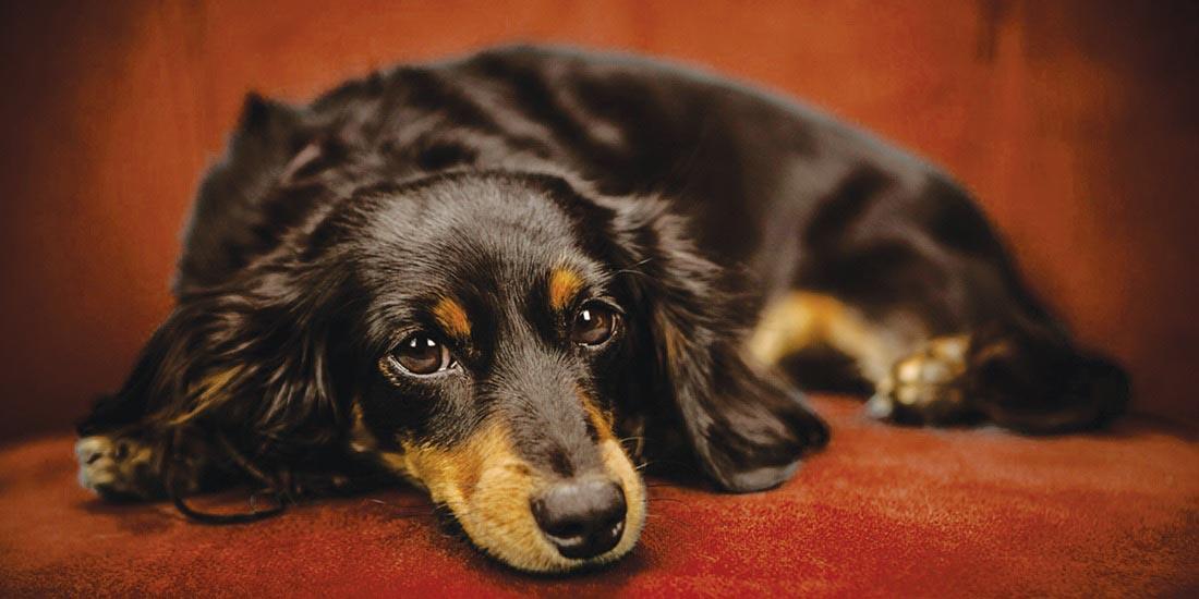 exame-categoria-hematologia-tipagem-sanguinea-canino-laboratorio-veterinario-vetex